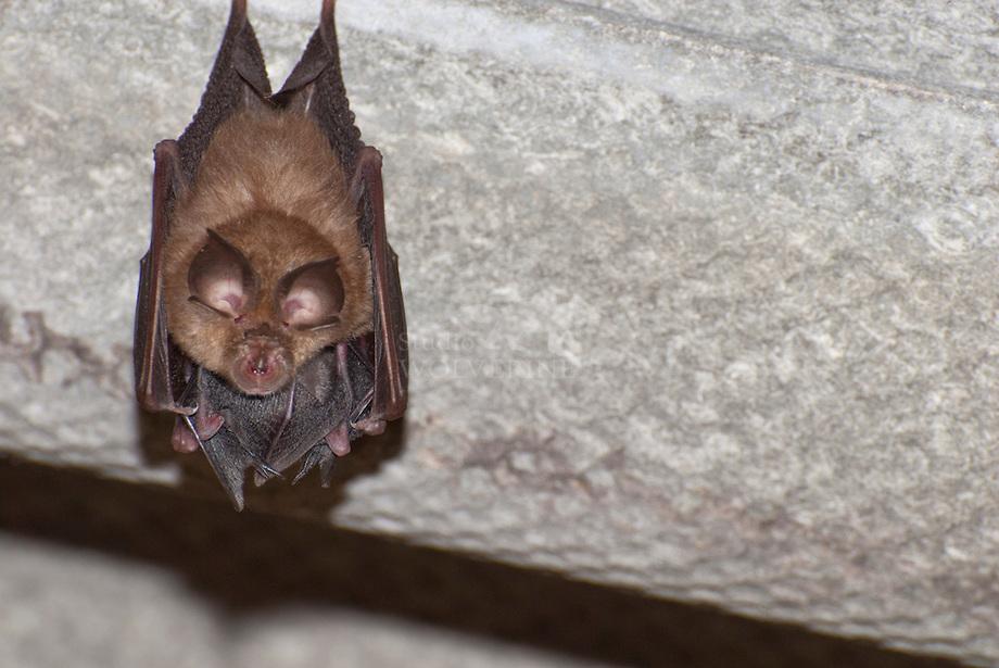 DK-20120729-0988-Grote-hoefijzerneus-Rhinolophus-ferrumequinum