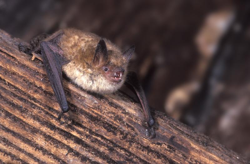 myotis-emarginatus-groot
